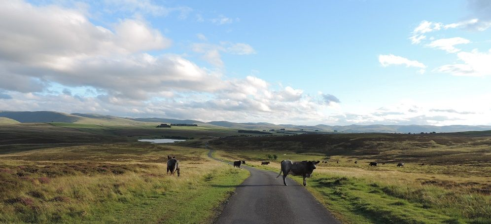 Cattle on the road around Orton Fells
